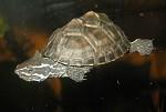 Muskusschildpad
