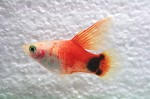 Platy Red Top Hoogvin
